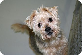 Norwich Terrier/Yorkie, Yorkshire Terrier Mix Dog for adoption in Muskegon, Michigan - Dafney