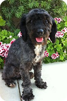 Cockapoo Dog for adoption in Irvine, California - SWEET SARAH