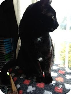 Domestic Shorthair Cat for adoption in Westminster, Maryland - Akira