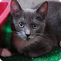Adopt A Pet :: Fancy #1 - Lunenburg, MA