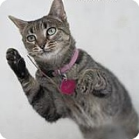 Domestic Shorthair Cat for adoption in Belle Chasse, Louisiana - Babe