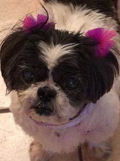 Shih Tzu Dog for adoption in Homer Glen, Illinois - Cuddles