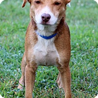 Adopt A Pet :: Shorty - Waldorf, MD