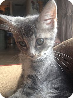 Domestic Shorthair Kitten for adoption in Tampa, Florida - Addison