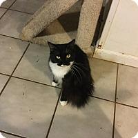 Domestic Longhair Cat for adoption in Medford, New York - Jasper