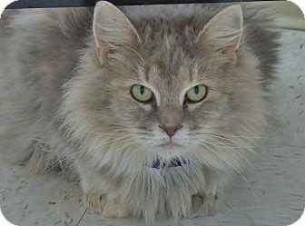 Domestic Mediumhair Cat for adoption in Chambersburg, Pennsylvania - Squeeky