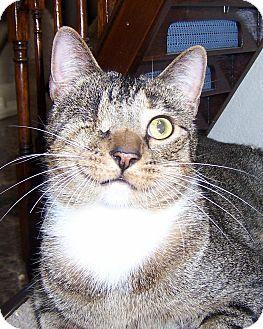 Domestic Shorthair Cat for adoption in Oklahoma City, Oklahoma - Kilroy