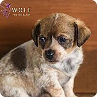 Adopt A Pet :: Vinnie - Cary, NC