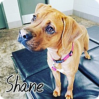 Adopt A Pet :: Shane - oklahoma city, OK