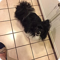 Adopt A Pet :: Oreo - Edmond, OK