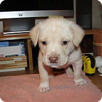 Adopt A Pet :: Beau - Bowie, MD