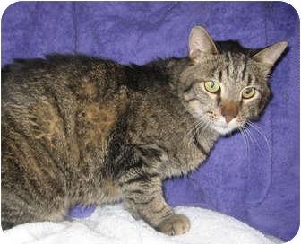 Domestic Shorthair Cat for adoption in Redondo Beach, California - Andrew