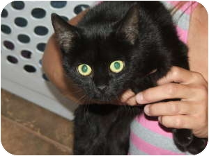 Bombay Kitten for adoption in McDonough, Georgia - Princess