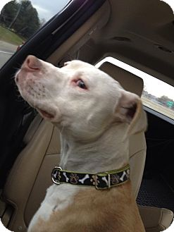 American Pit Bull Terrier Mix Dog for adoption in Laingsburg, Michigan - Cash