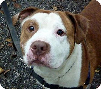 American Bulldog Mix Dog for adoption in Tinton Falls, New Jersey - Justice