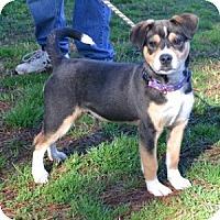 Adopt A Pet :: Mickey - Athens, GA