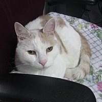 Domestic Shorthair Cat for adoption in Griswold, Connecticut - FiFi