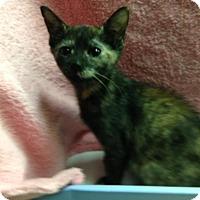 Adopt A Pet :: Confetti - Dallas, TX