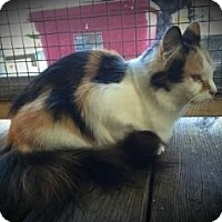 Calico Cat for adoption in Columbus, Ohio - Hailey aka Blossom