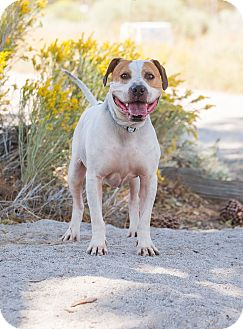 American Bulldog/Boxer Mix Dog for adoption in Washoe Valley, Nevada - Bodie