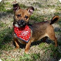Adopt A Pet :: Falcon - Mocksville, NC