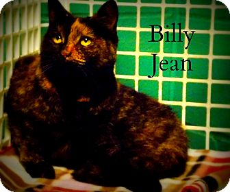 Domestic Shorthair Cat for adoption in Defiance, Ohio - Billy Jean
