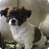 Adopt A Pet :: Anakin - La Habra Heights, CA