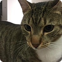 Domestic Shorthair Cat for adoption in Cumming, Georgia - Camille