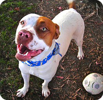 Pit Bull Terrier Mix Dog for adoption in El Cajon, California - Malakye