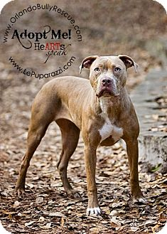 American Pit Bull Terrier Mix Puppy for adoption in Orlando, Florida - Cocoa
