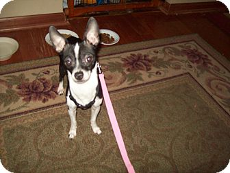 Chihuahua Dog for adoption in Crown Point, Indiana - Zorro