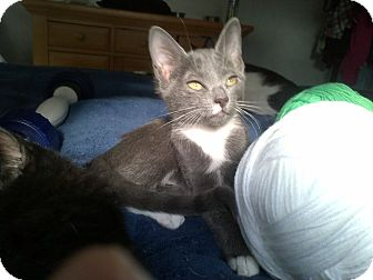Domestic Shorthair Kitten for adoption in Seminole, Florida - Sapphire