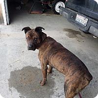 Adopt A Pet :: Kojak - Chewelah, WA