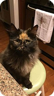 Maine Coon Cat for adoption in Palatine, Illinois - Zoe - Courtesy Post