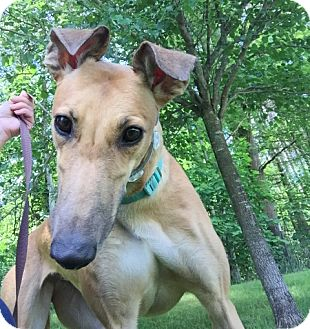 Greyhound Dog for adoption in Swanzey, New Hampshire - Darla