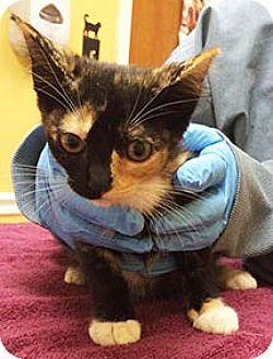 American Shorthair Kitten for adoption in Metairie, Louisiana - Abigail