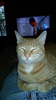 Domestic Shorthair Cat for adoption in Armuchee, Georgia - Phoenix