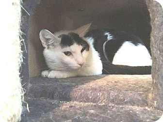 Domestic Shorthair Cat for adoption in Putnam, Connecticut - Sherwin