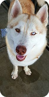 Siberian Husky Dog for adoption in Apple valley, California - Sampson