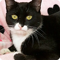 Adopt A Pet :: Bacall - St Louis, MO