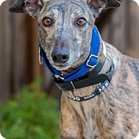 Adopt A Pet :: Pocket - Walnut Creek, CA