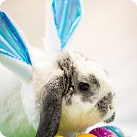 Adopt A Pet :: Bugs Bunny - Little Rock, AR