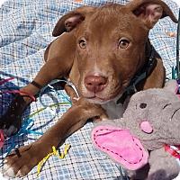 Adopt A Pet :: Clover - Detroit, MI