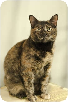 Domestic Shorthair Cat for adoption in Brooklyn, New York - India