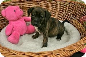 Dachshund Mix Puppy for adoption in Lufkin, Texas - Sam