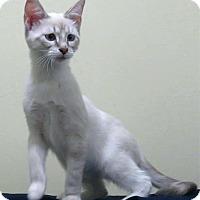 Adopt A Pet :: Kaylee - Edmond, OK