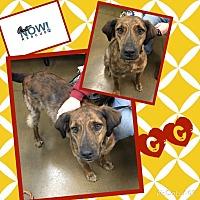 German Shorthaired Pointer/Plott Hound Mix Dog for adoption in chicago, Illinois - CC
