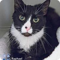 Adopt A Pet :: Raphael - Merrifield, VA
