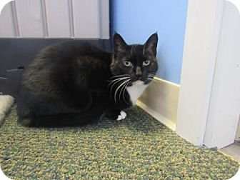 Domestic Shorthair Cat for adoption in Northfield, Minnesota - Abigail