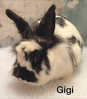 Lionhead Mix for adoption in Auburn, California - Gigi